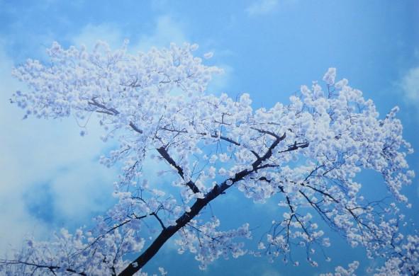 Kersenbloesem, roze bloemen, blauwe lucht