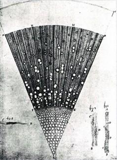 Tekening naar een doorsnede van een jaar oude es, door Antoni van Leeuwenhoek