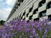 Het Meertens Instituut met daarvoor de bloeiende lavendel.